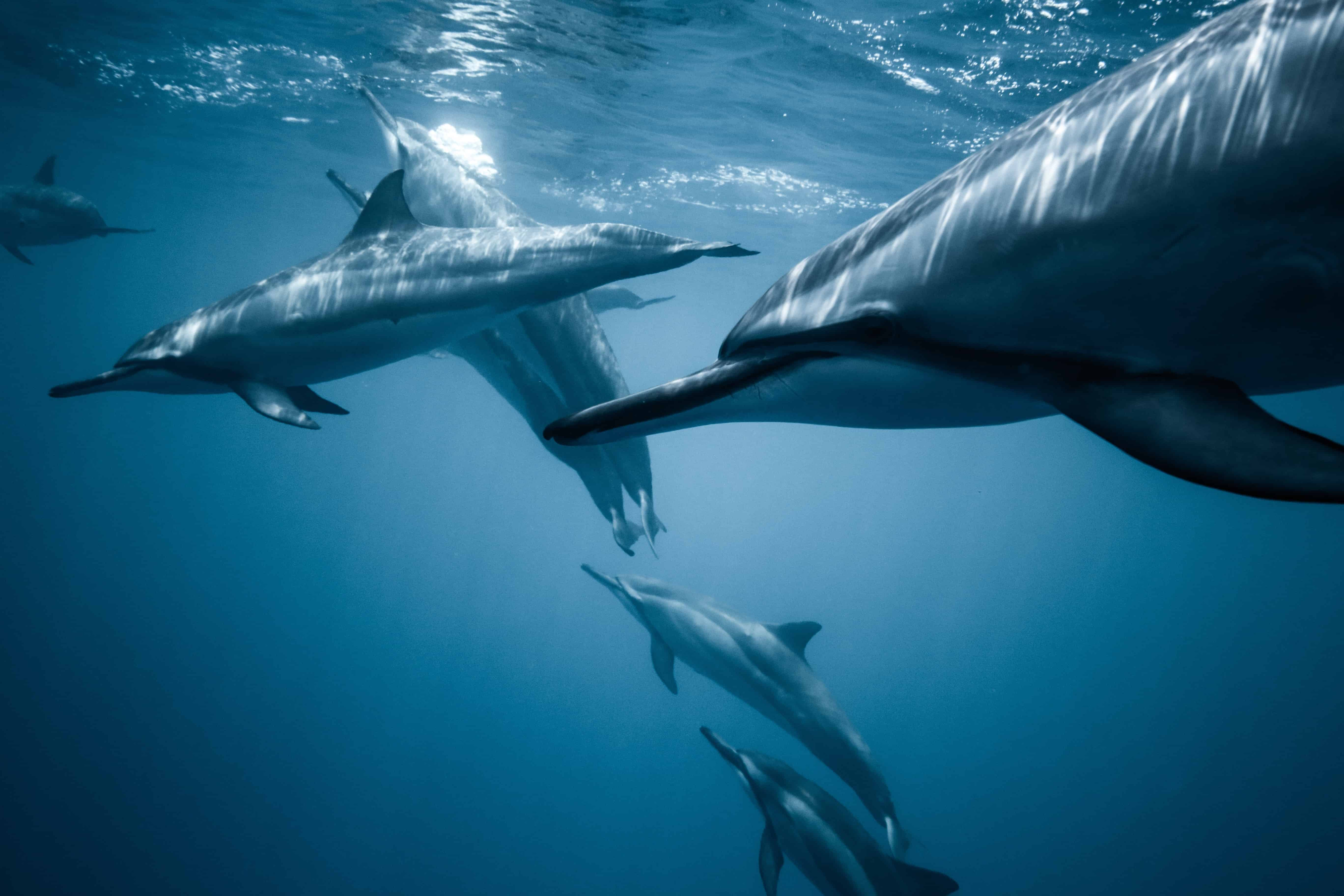 Dolphins in the sea, dolphin facts