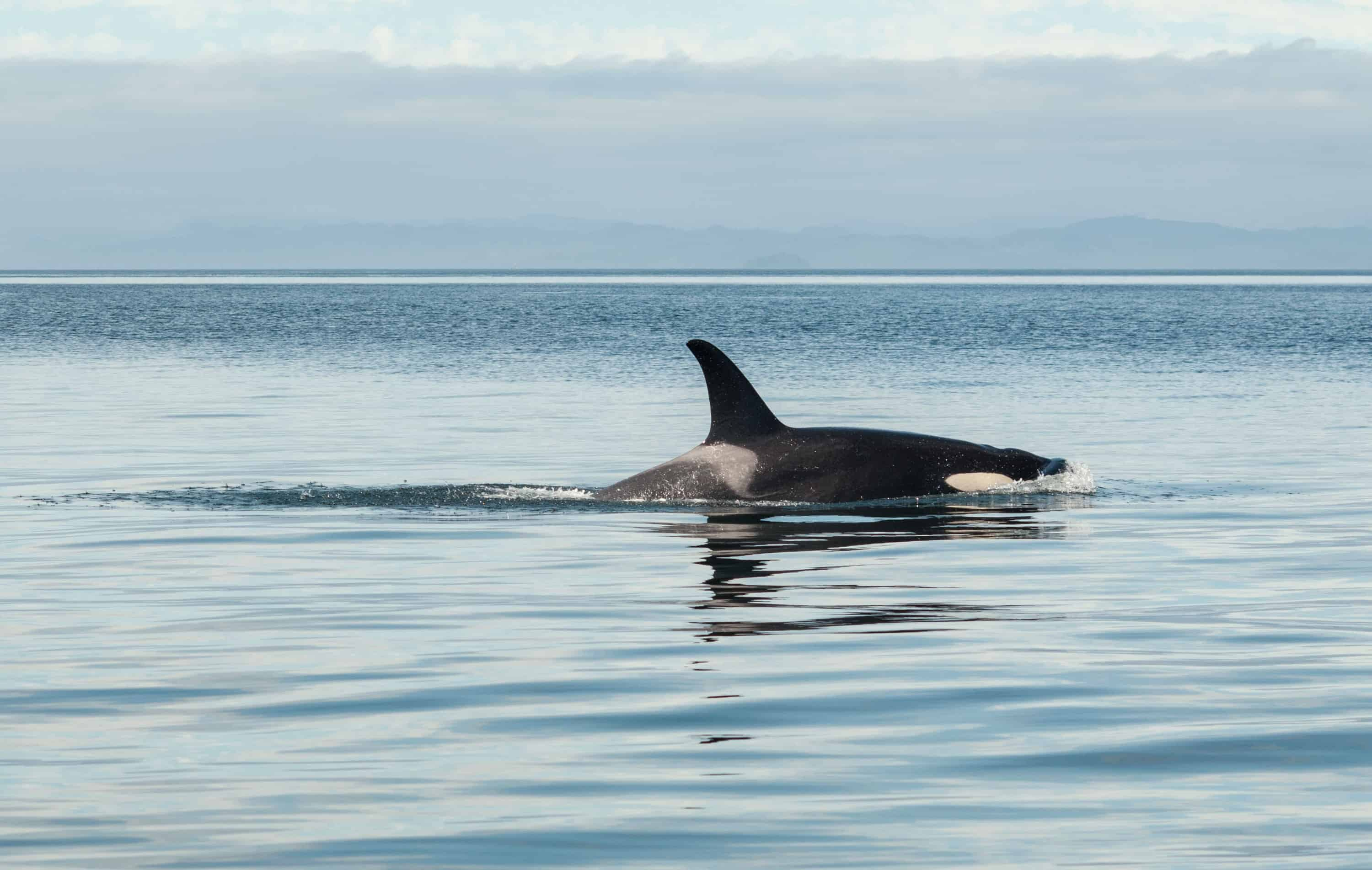 Killer whales, dolphins facts