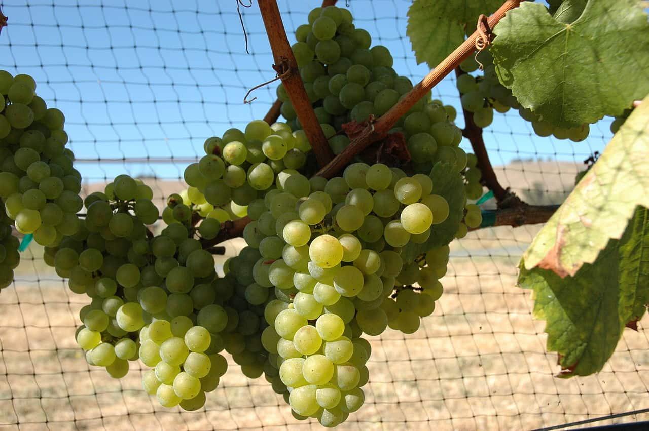 Chardonnay, grapes, wine facts