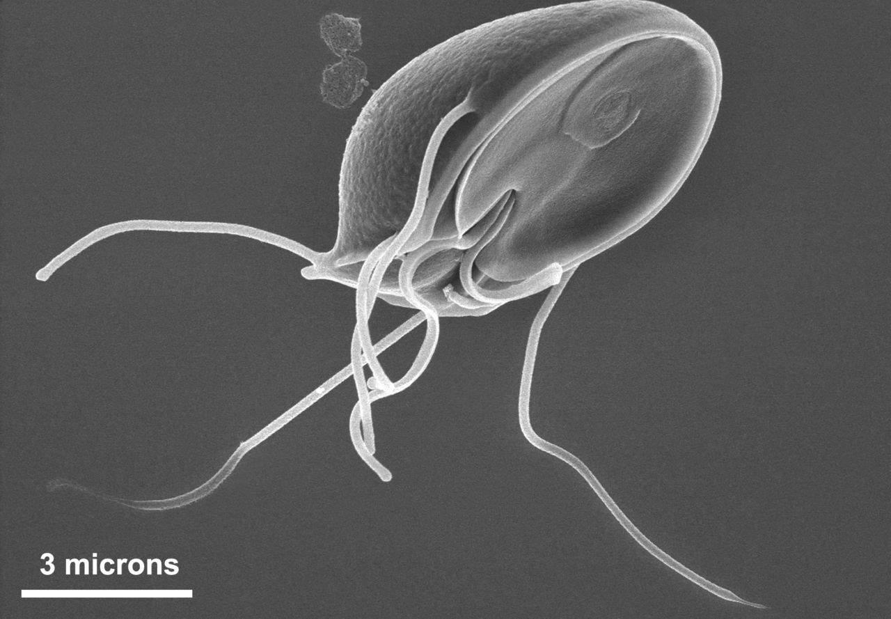 Giardia, Parasite