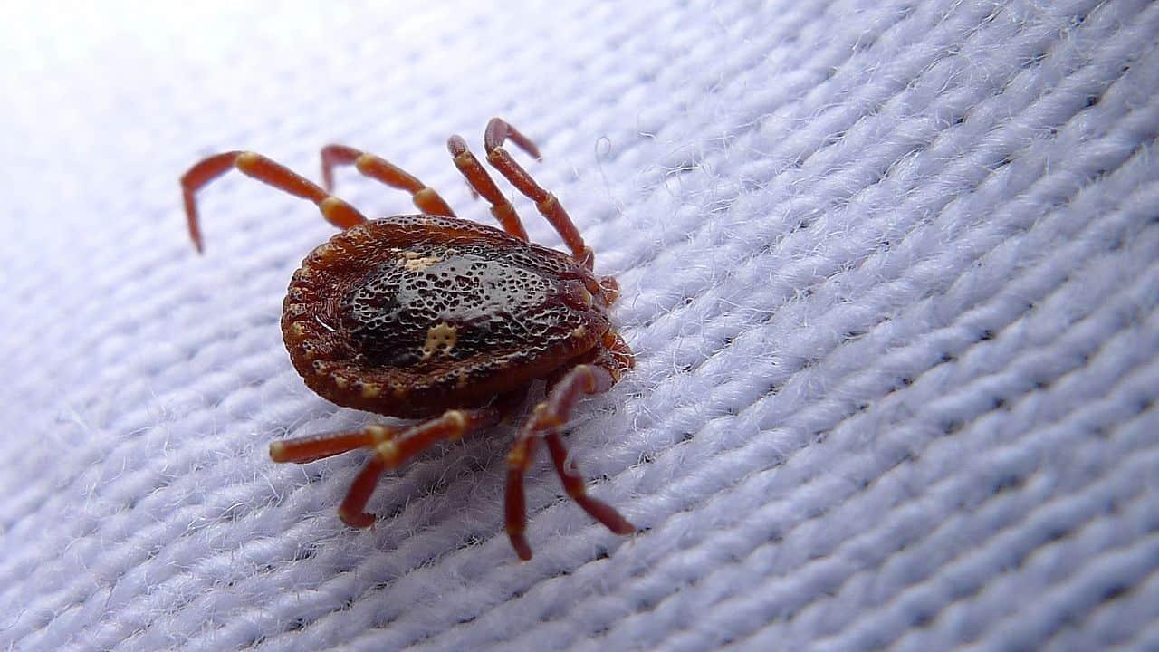 tick, parasite