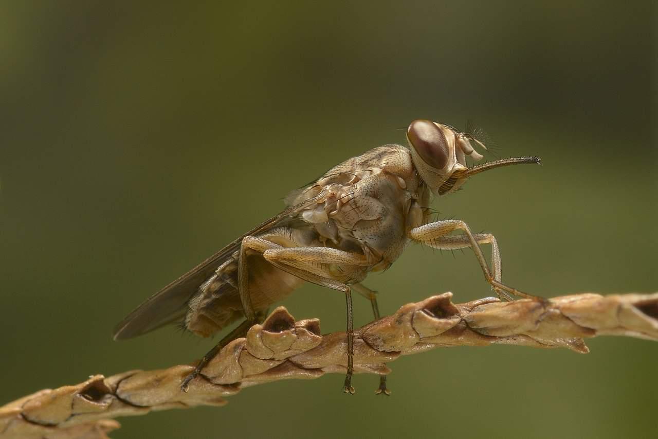 tsetse fly, parasite