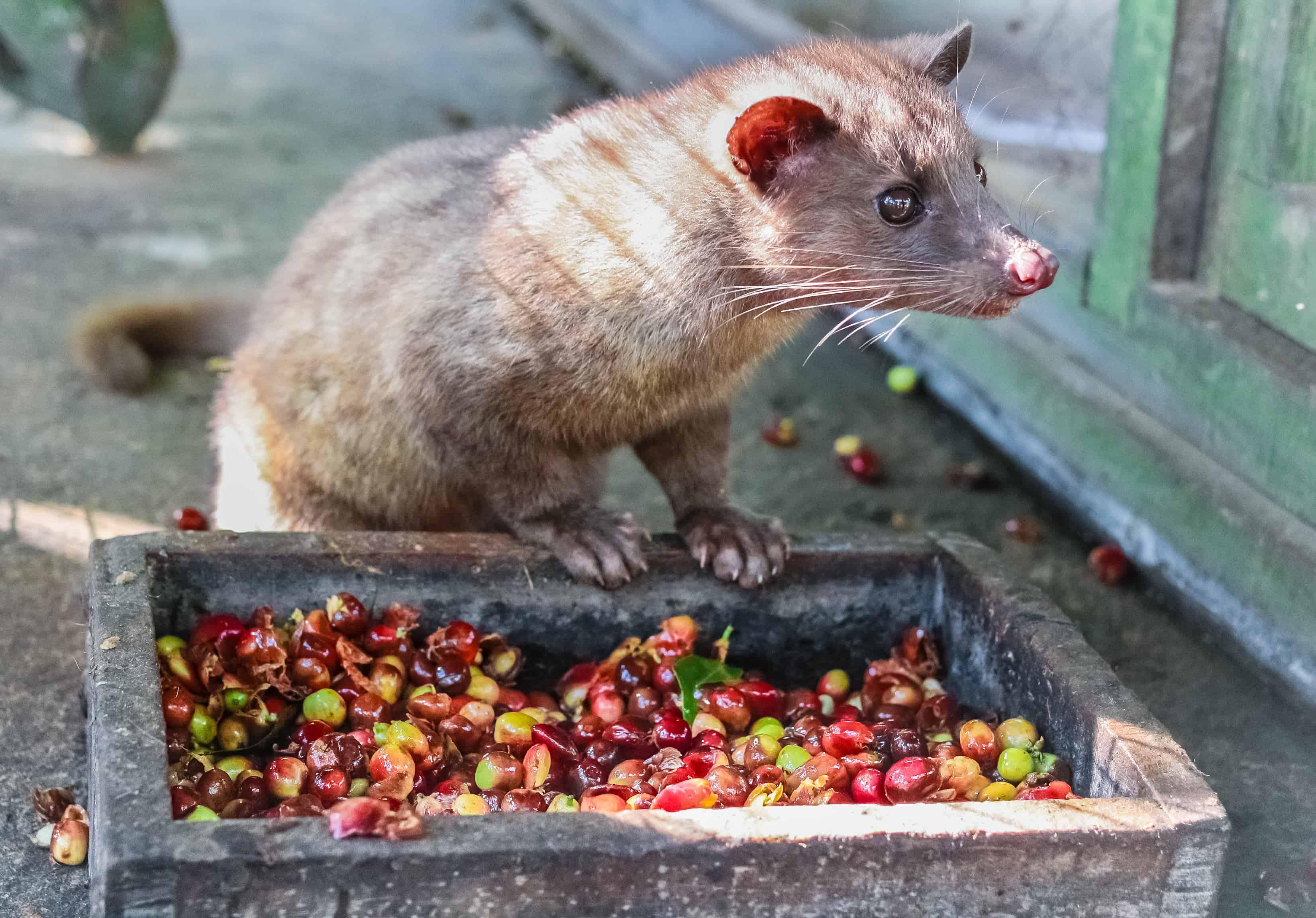 kopi luwak, civet produce most expensive coffee