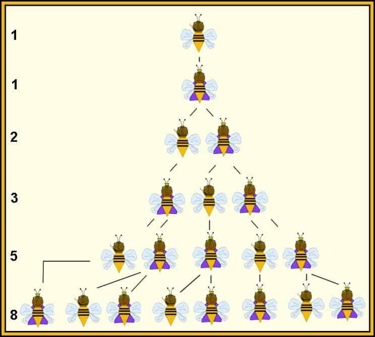 bee family tree, fibonacci sequence