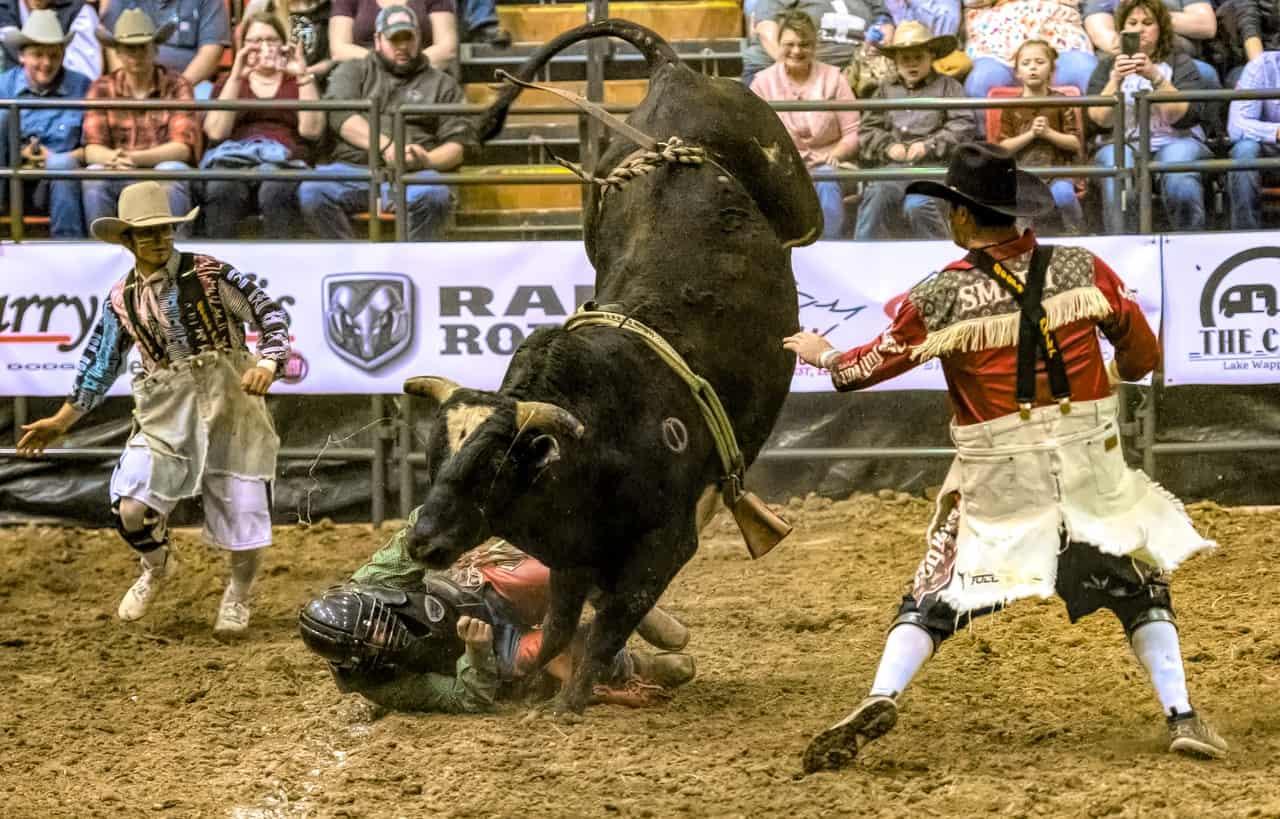 bull, bull riding, costa rica facts