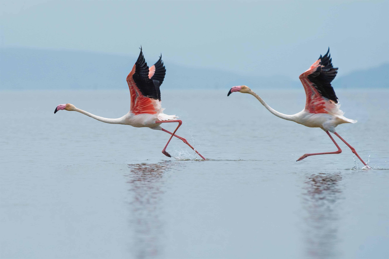flamingo flying, flamingo facts