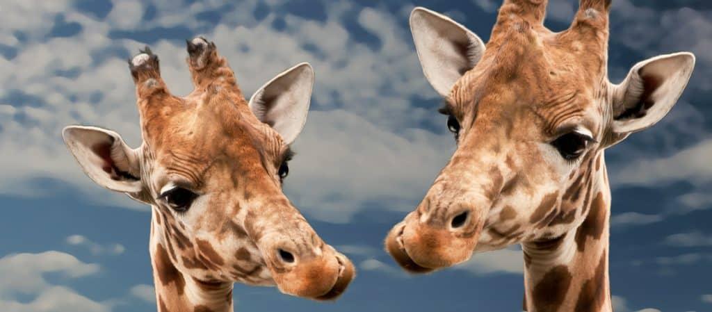 giraffe dental facts
