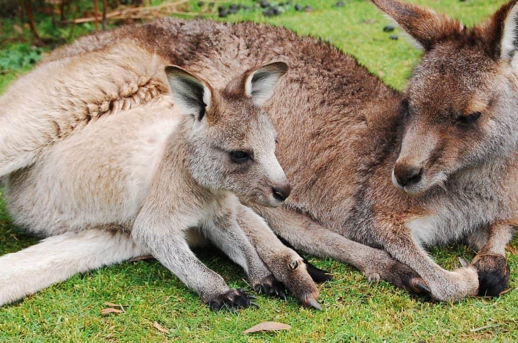 kangaroo overpopulation facts