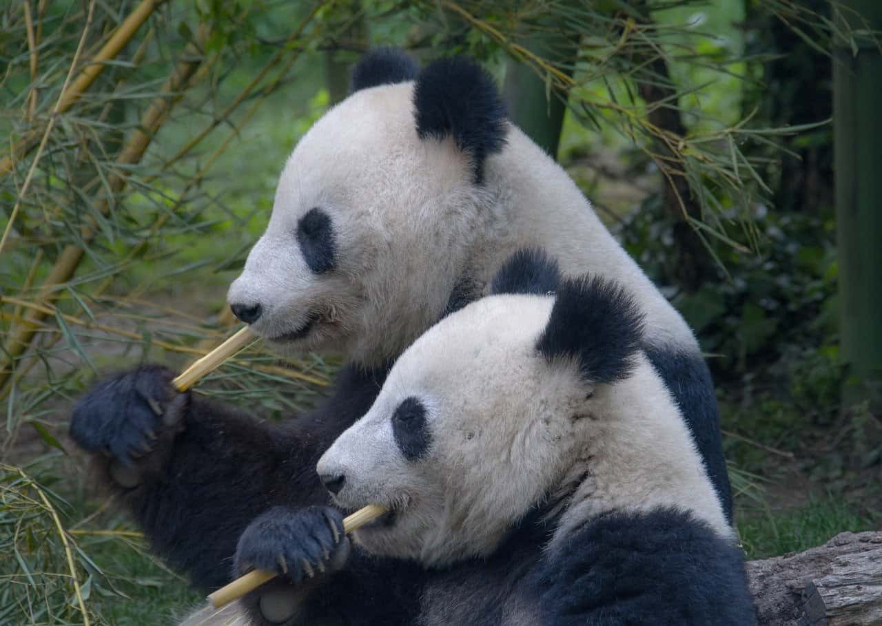 mating pandas, sex facts