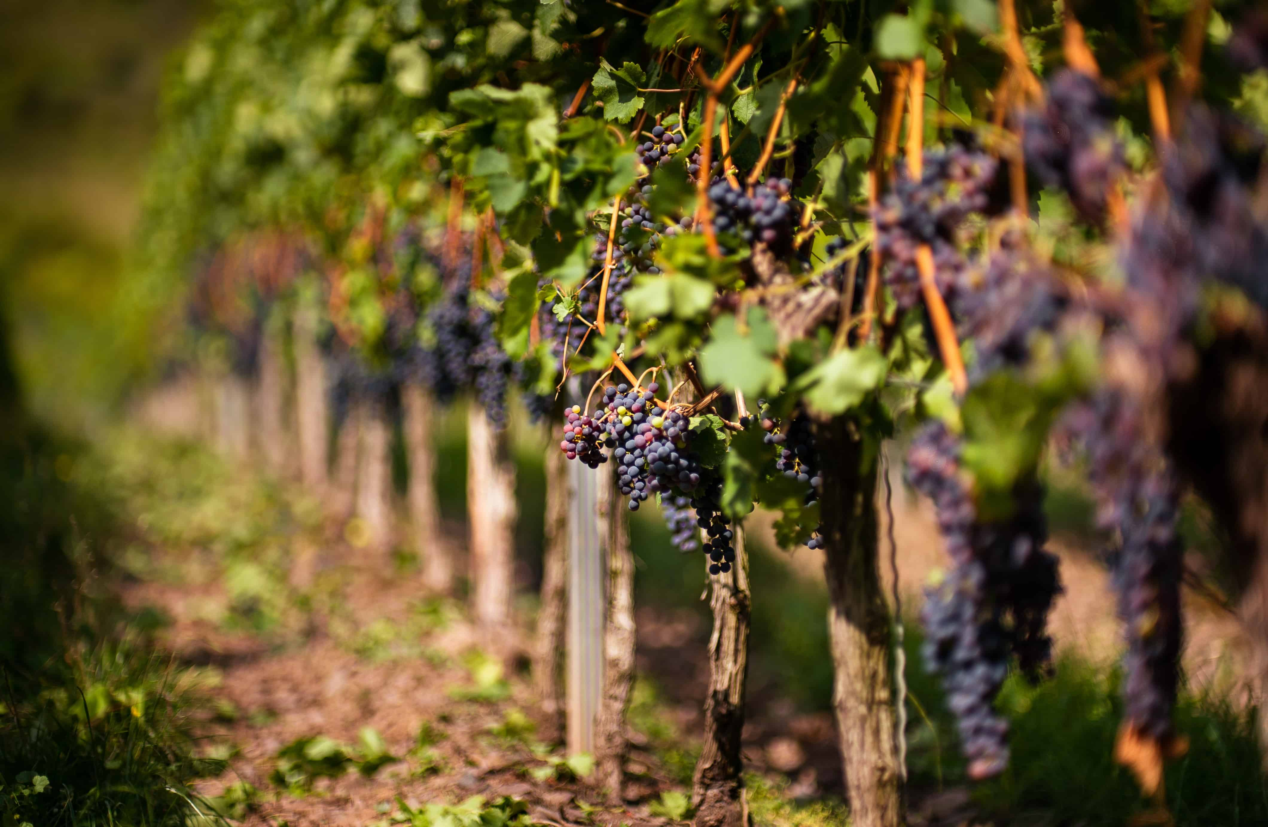 grape vineyards, wine facts