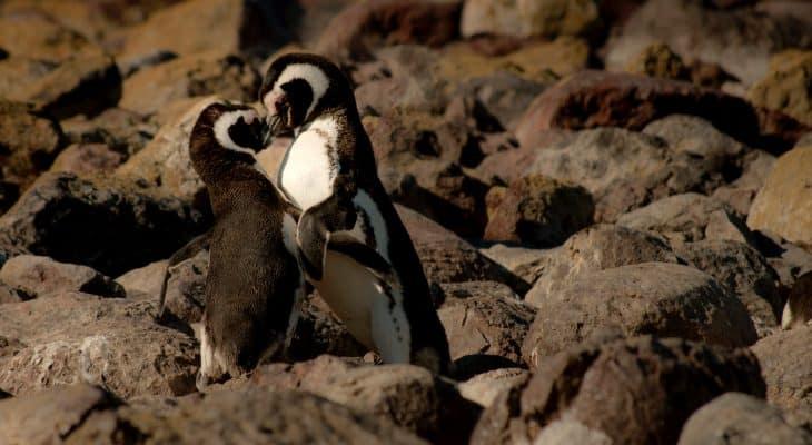 gay animals, homosexual animals, penguins