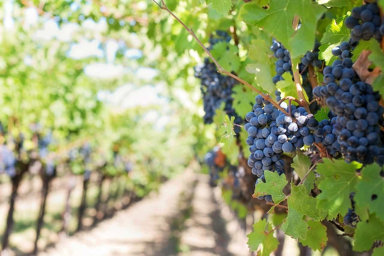 vineyard, grapes, wine facts