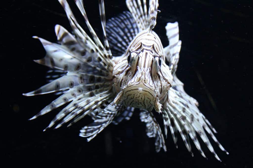 lionfish overpopuilation facts