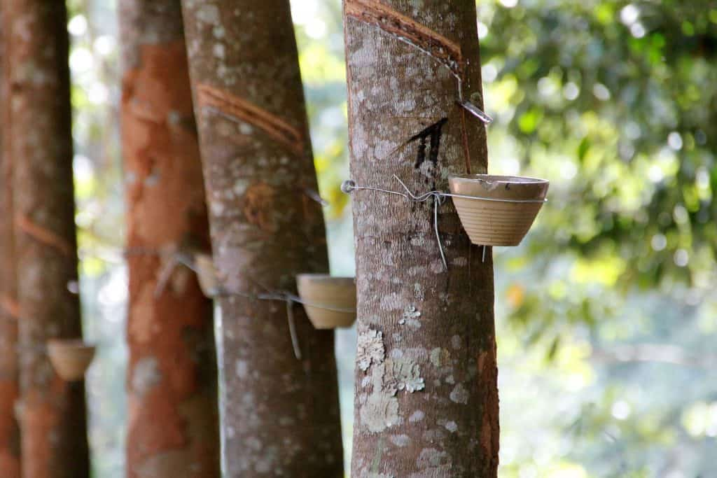 rubber tree rubber facts