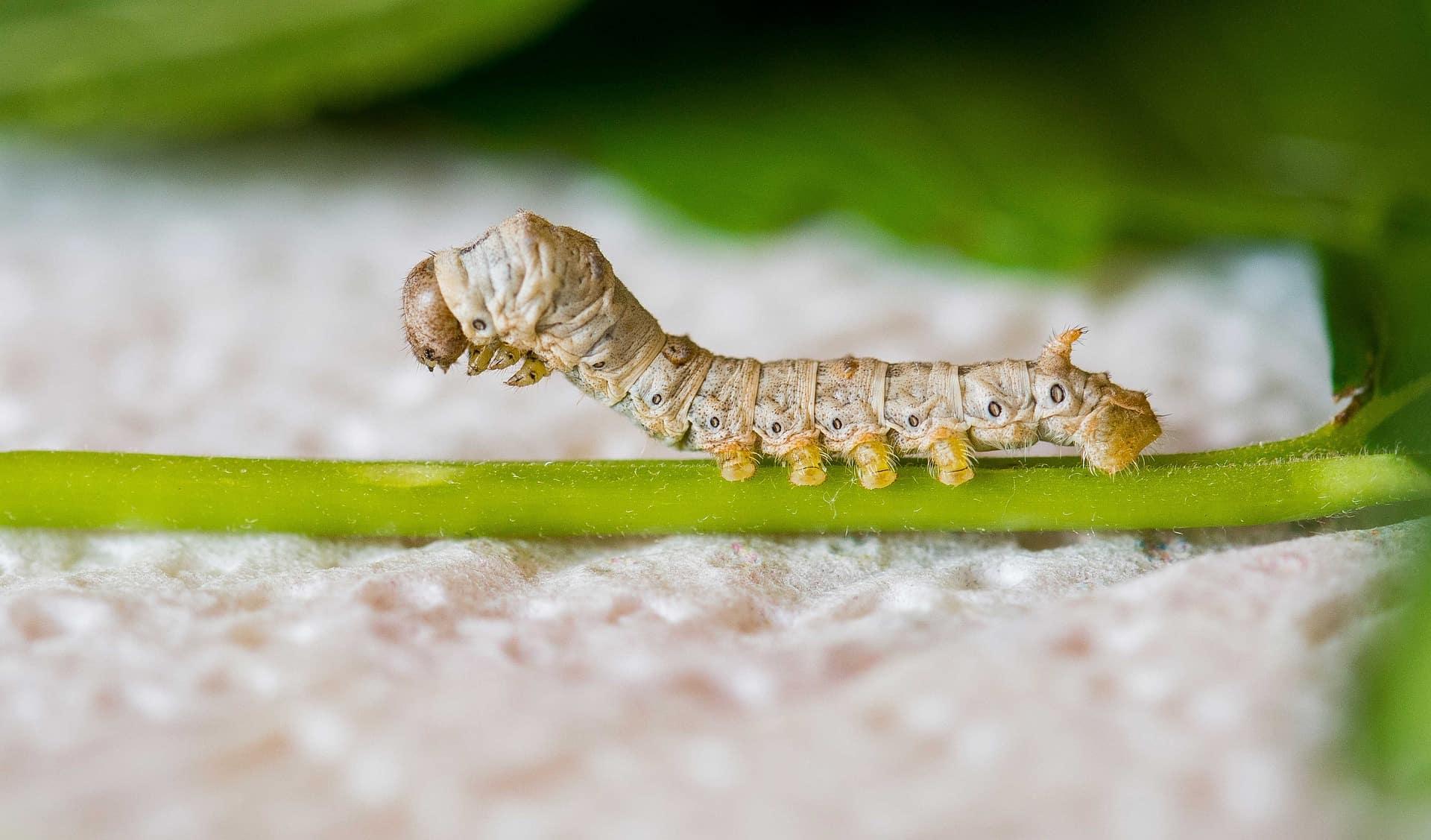 silkworm silk facts