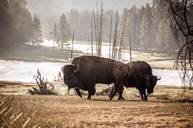 Bison, Bulls