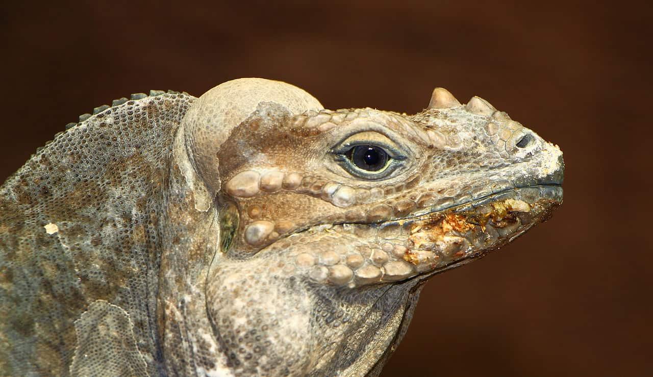 rhinoceros iguana, dominican republic facts