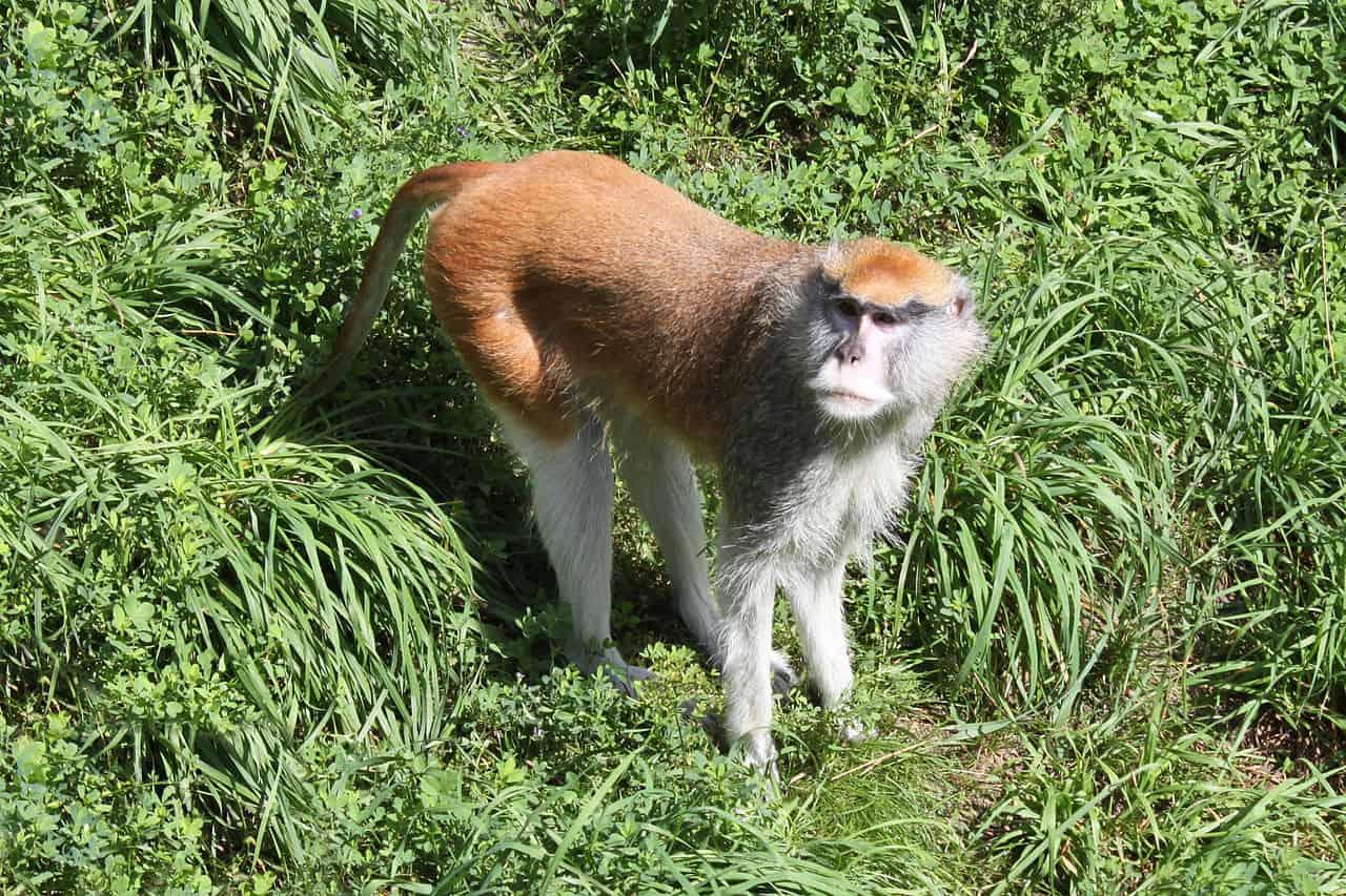 Patas monkey, monkey facts