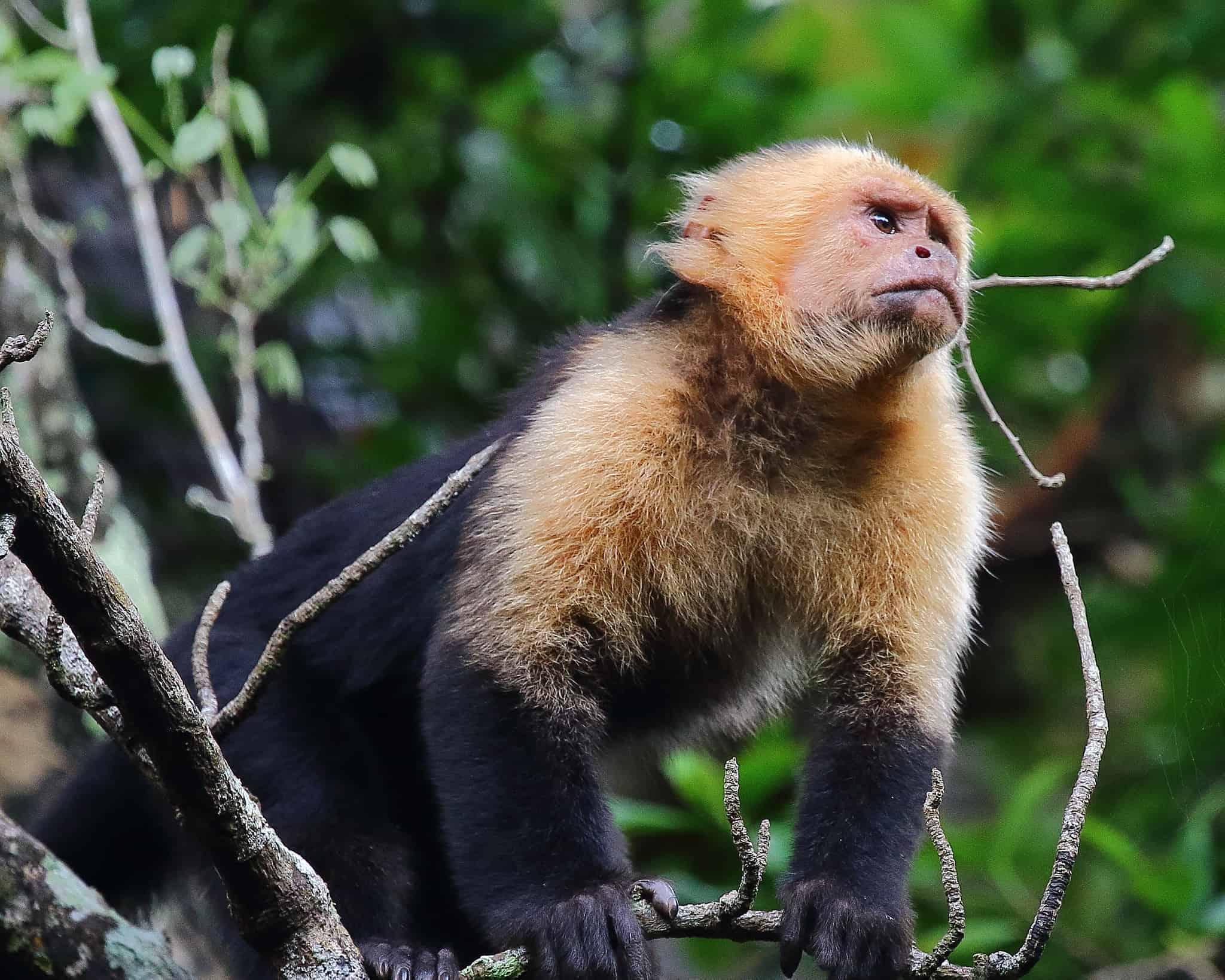 White-faced Capuchin Monkey, monkey facts