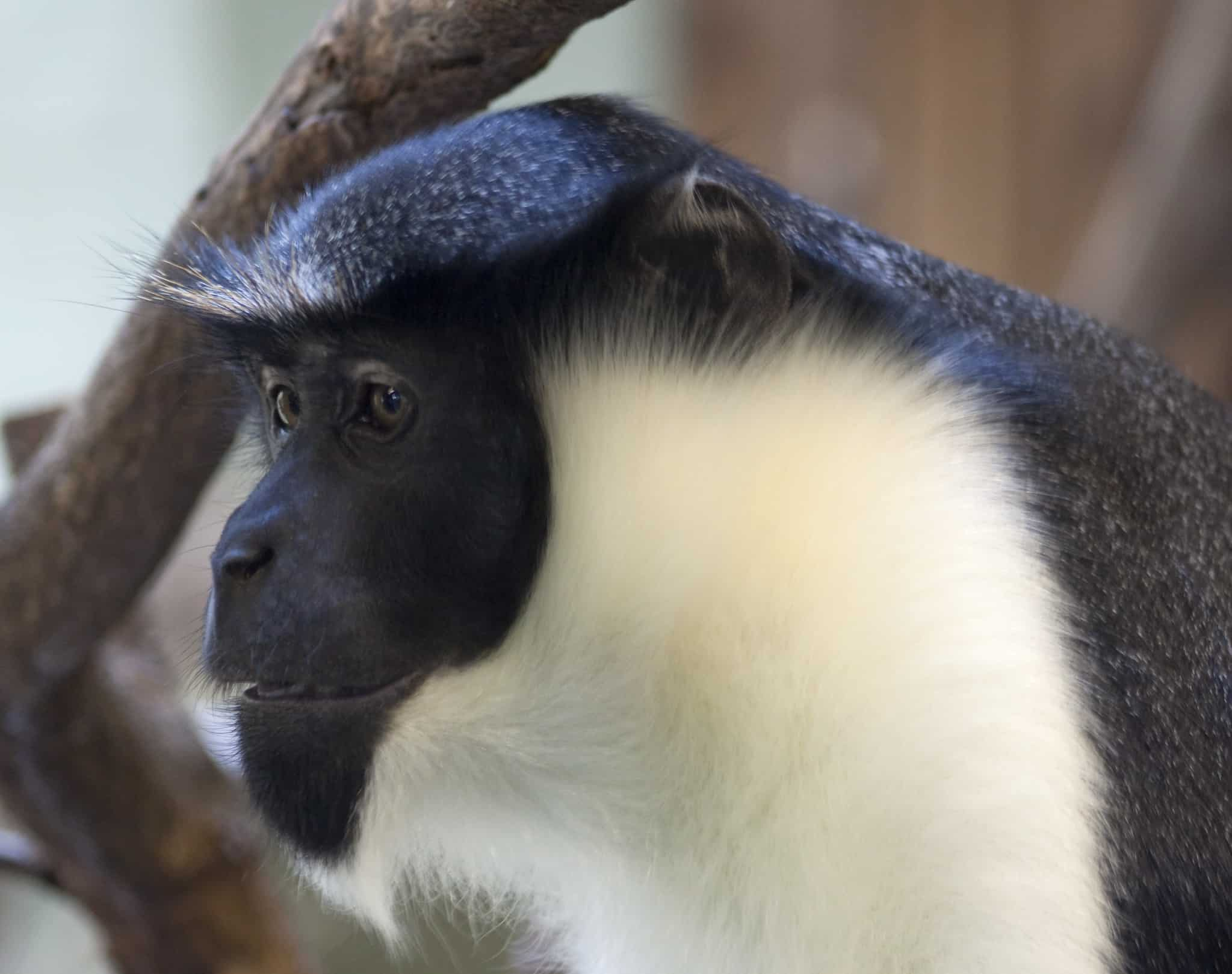 diana monkey, weird facts