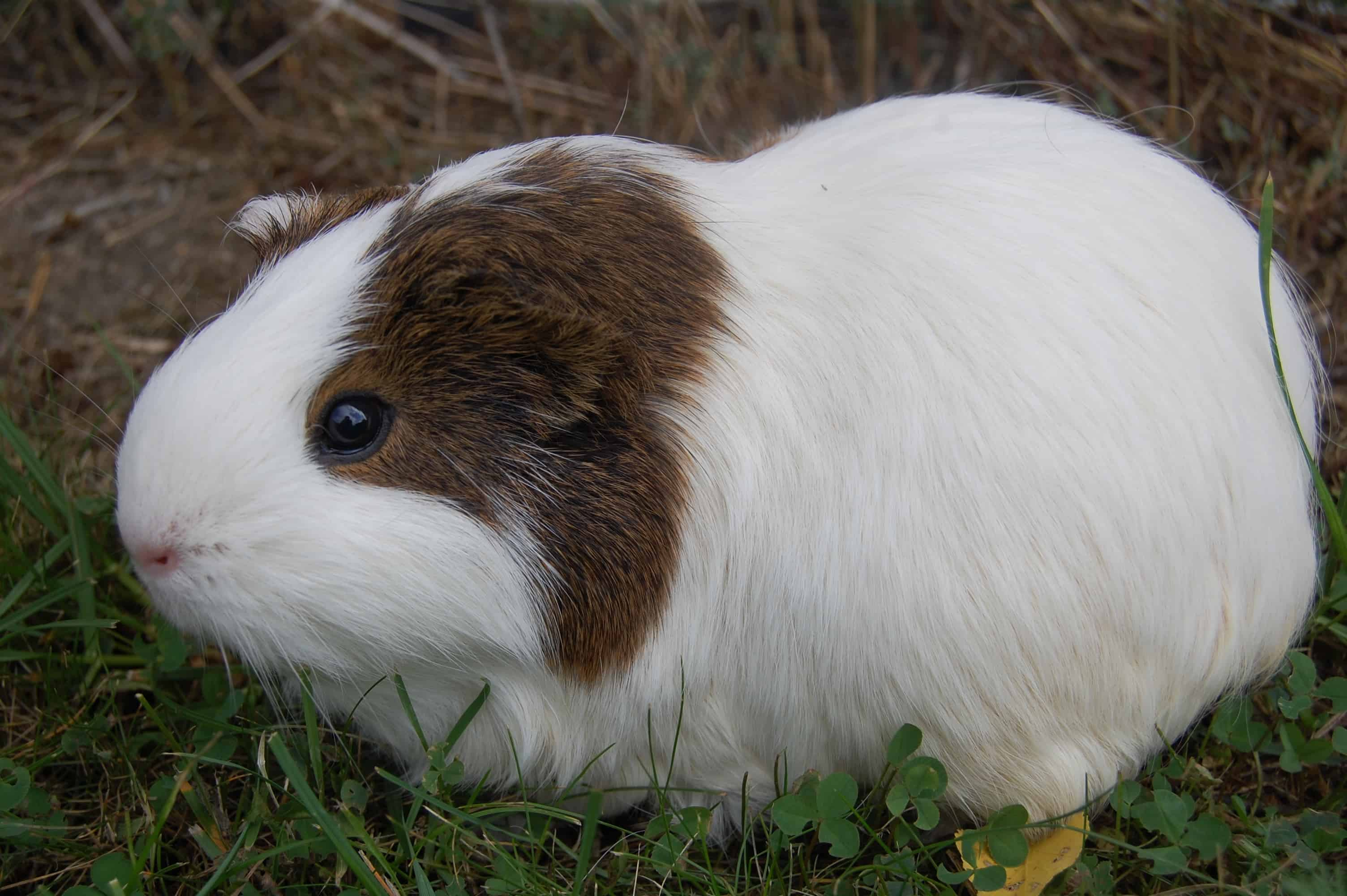 This American Guinea Pig has brown and white fur.