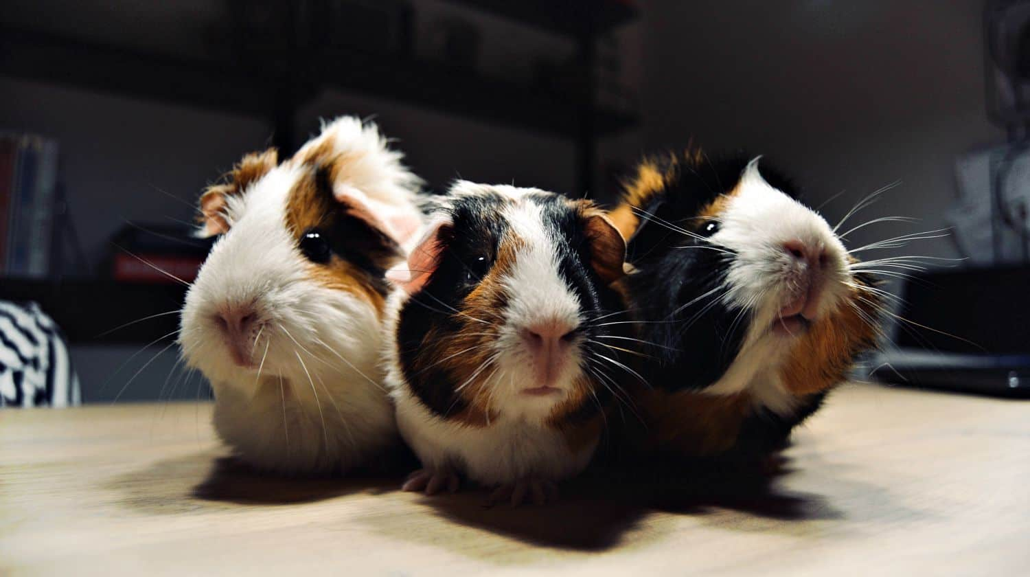A trio of Guinea Pigs
