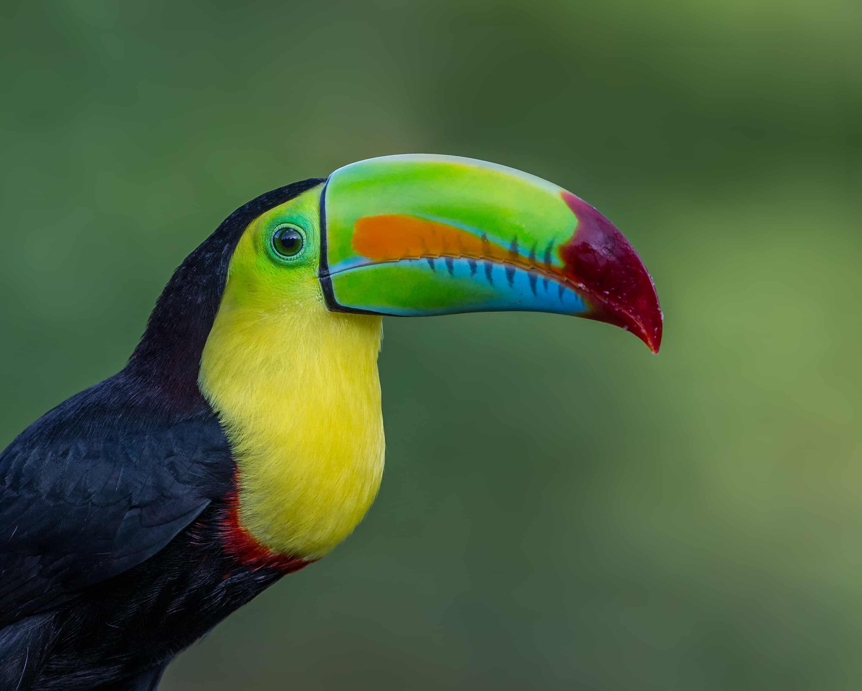 keel billed toucan, toucan facts
