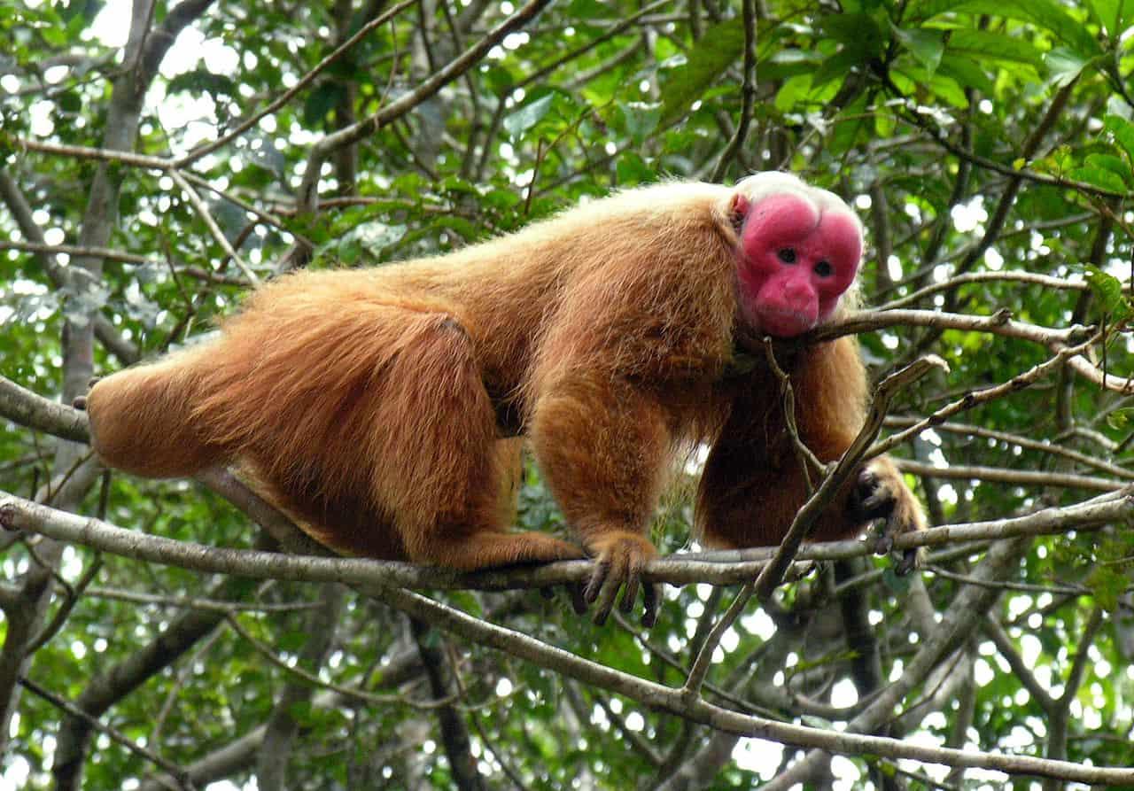 Uakari monkey, rarest monkey, monkey facts
