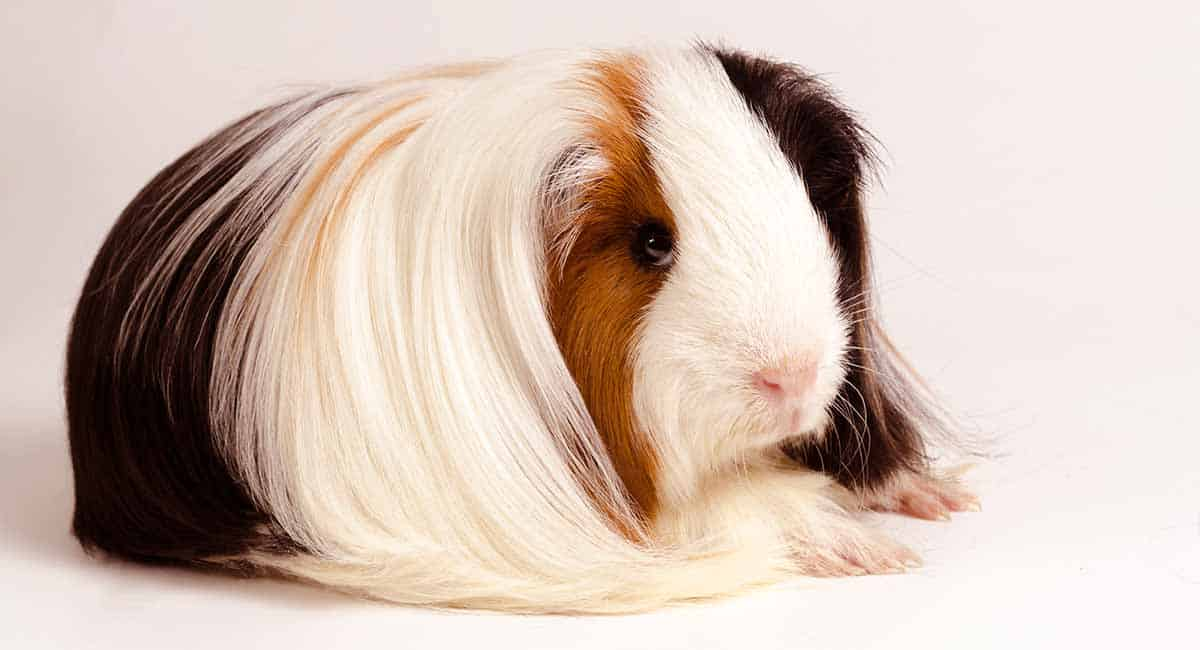 This Peruvian Guinea Pig has its black, white, and brown fur.