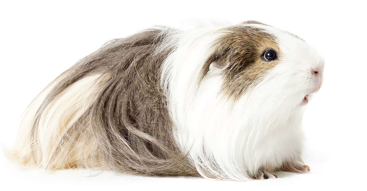 This Silkie Guinea Pig has the breed's characteristic swept-back fur.