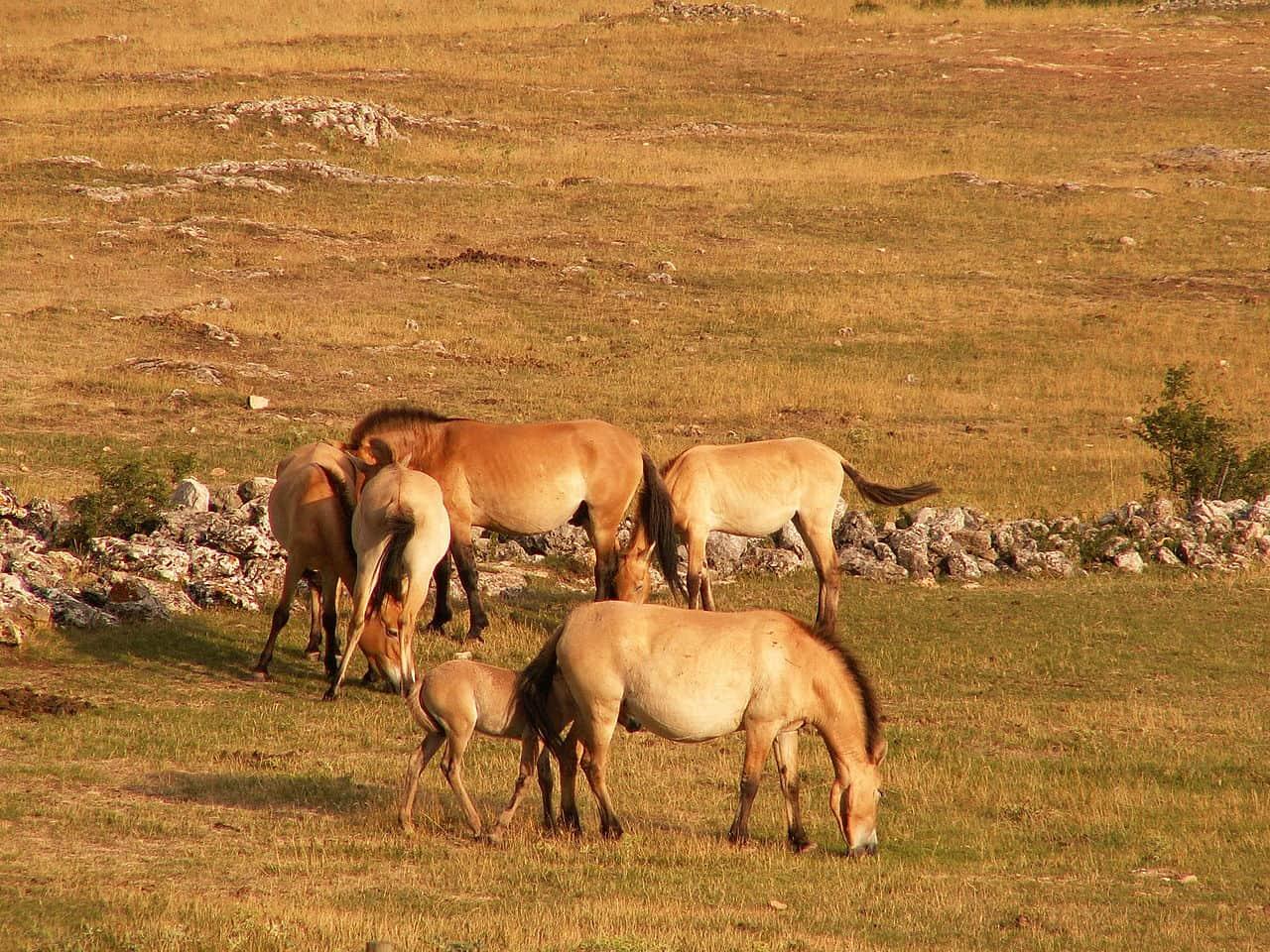 Takhi in Mongolia.
