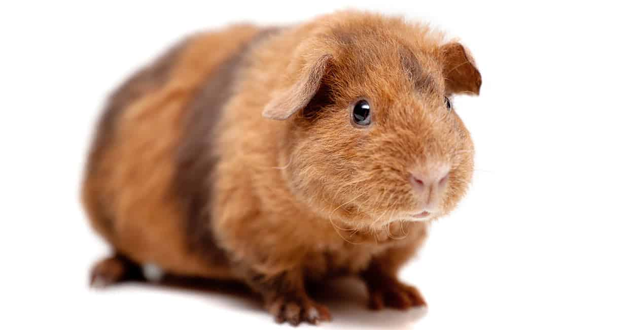 This Teddy Guinea Pig has brown fur with dark bands.