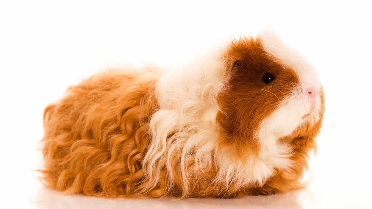 This Texel Guinea Pig has curly brown and white fur.