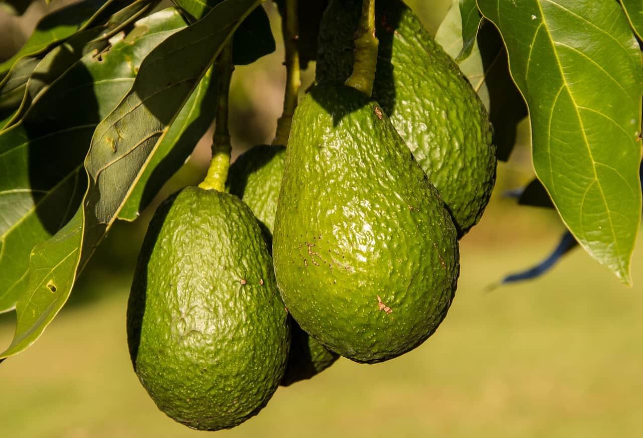avocado tree, avocado facts