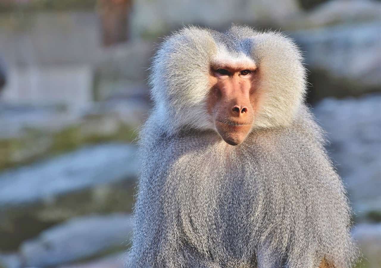 baboon, monkey facts