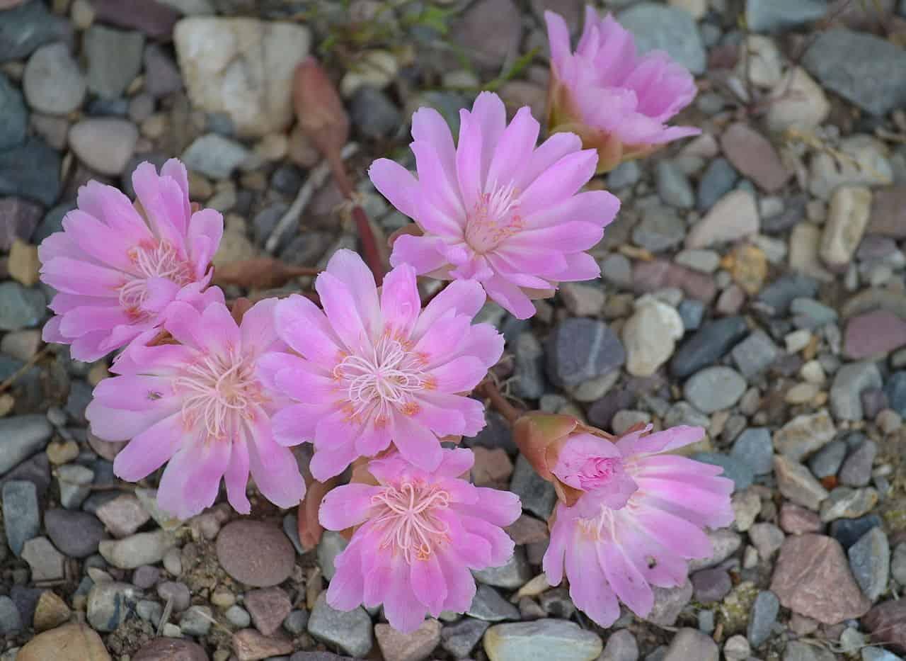 bitterroot flower montana, montana facts