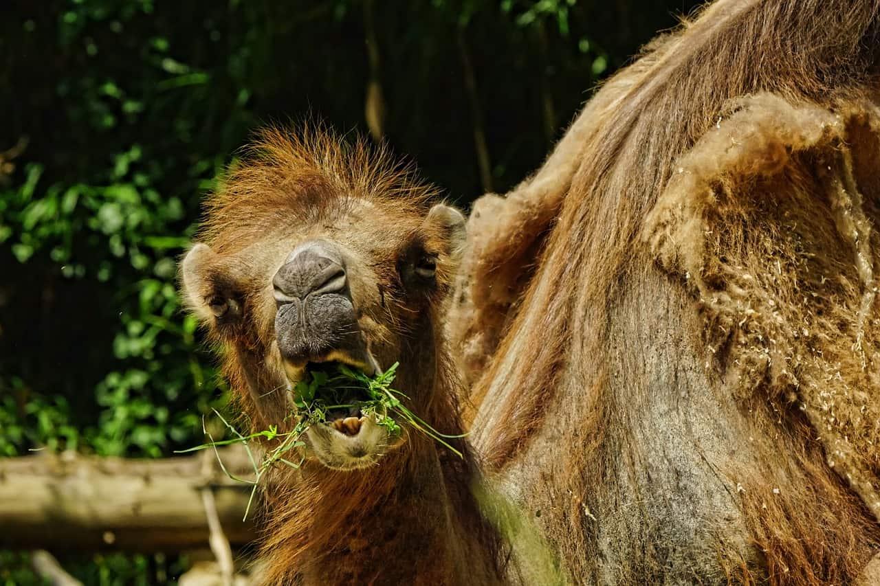 camels are herbivores