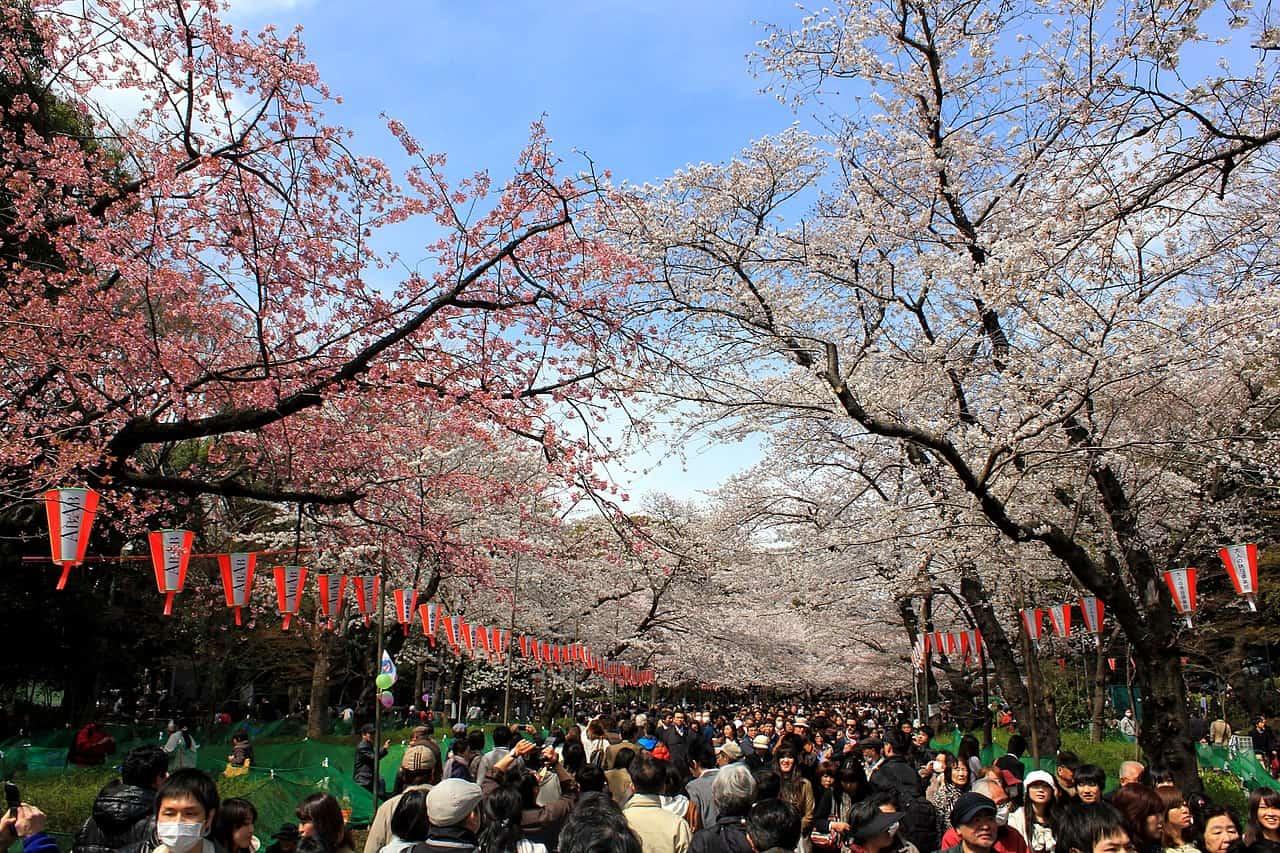 cherry blossoms, ueno park, tokyo facts