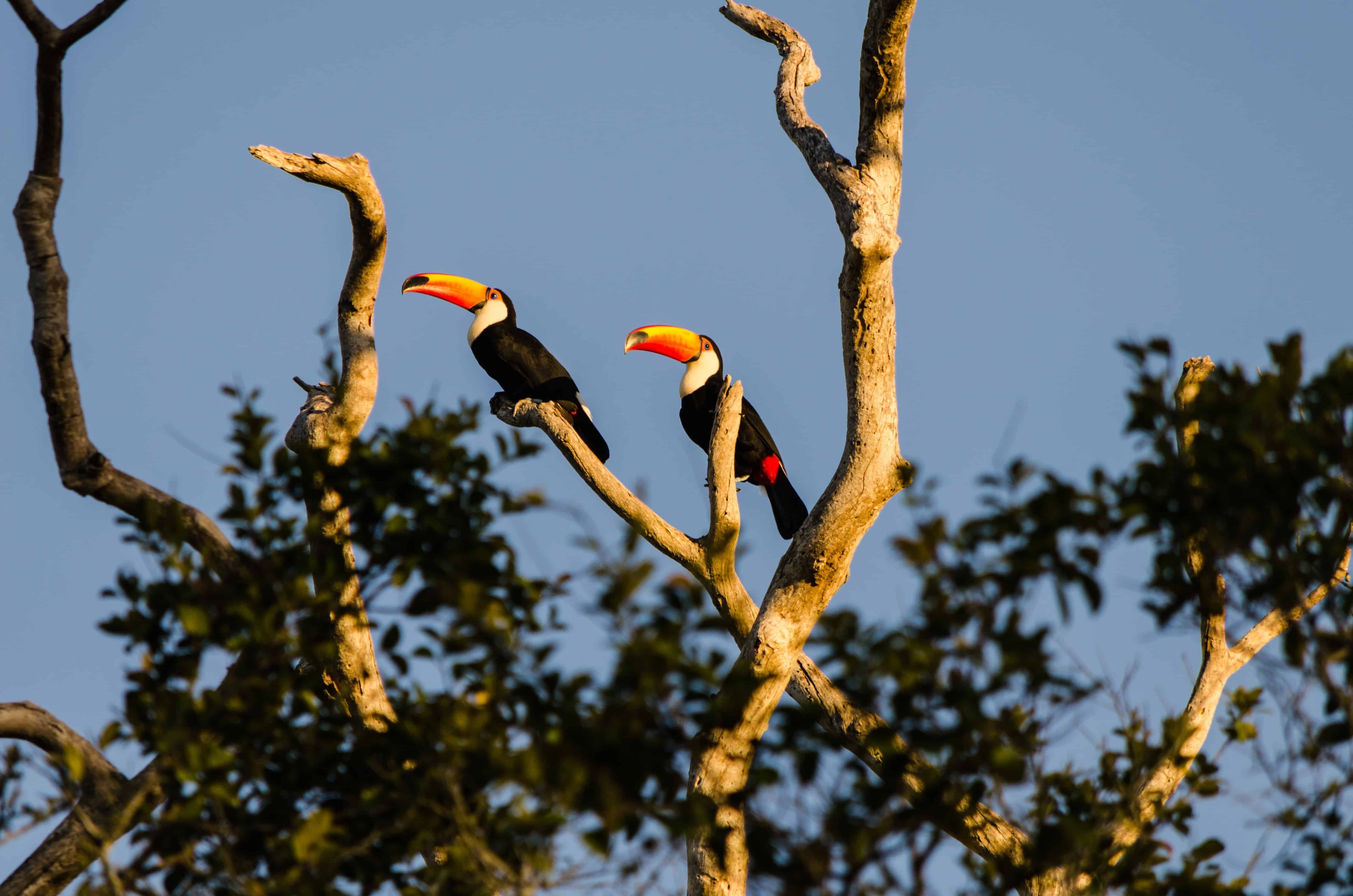toucan on tree top, toucan facts