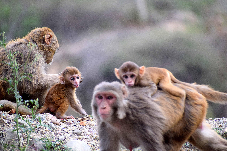 group of monkeys, monkey facts