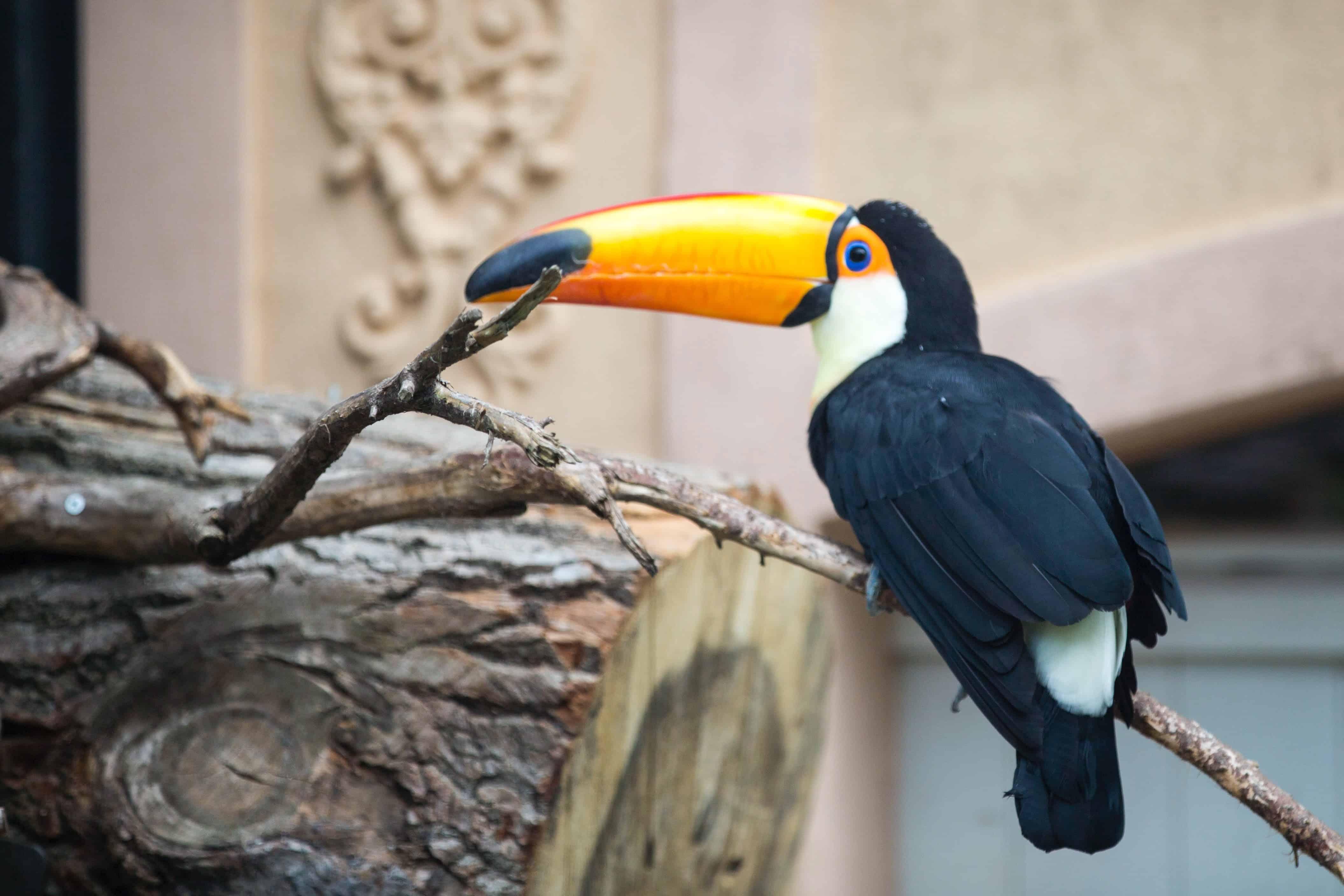toucan's beak, toucan facts
