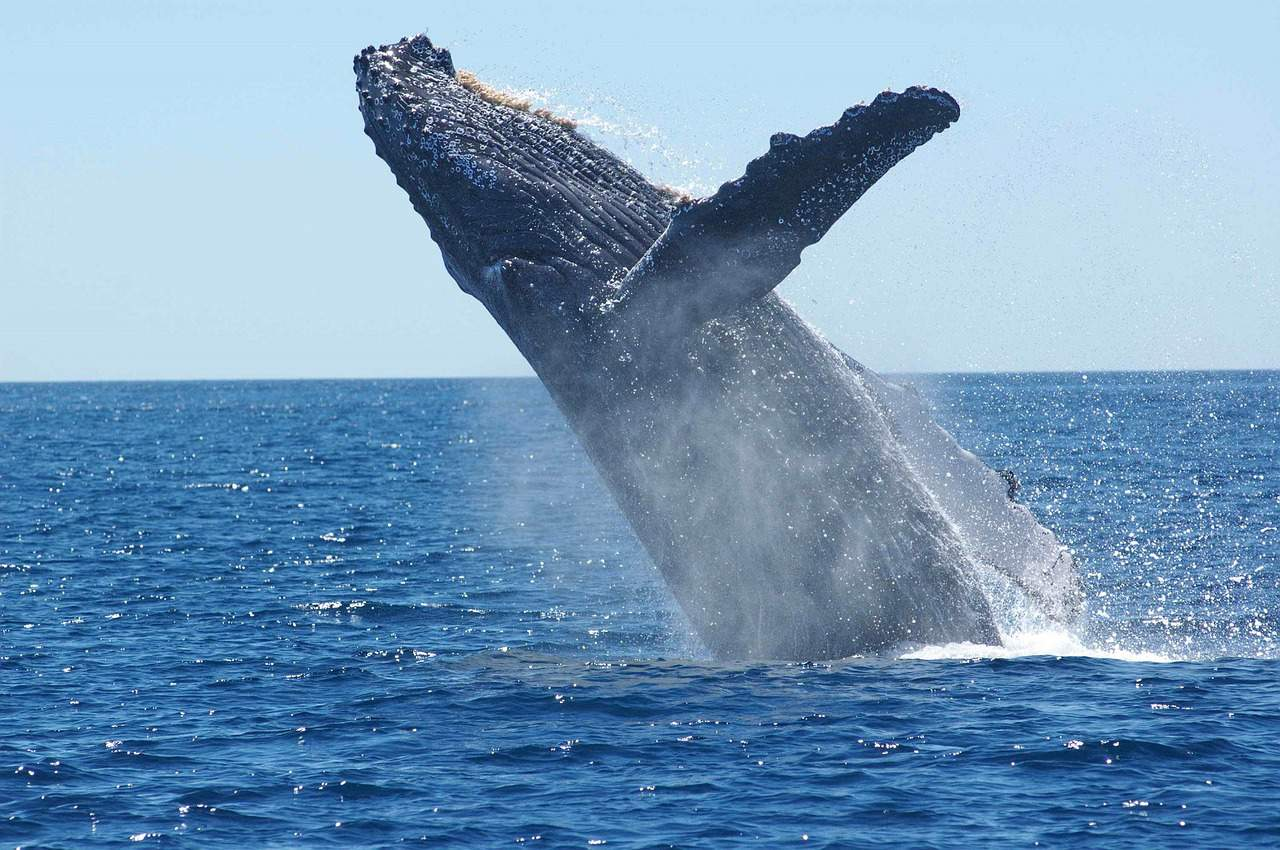 humpback whale, dominican republic facts