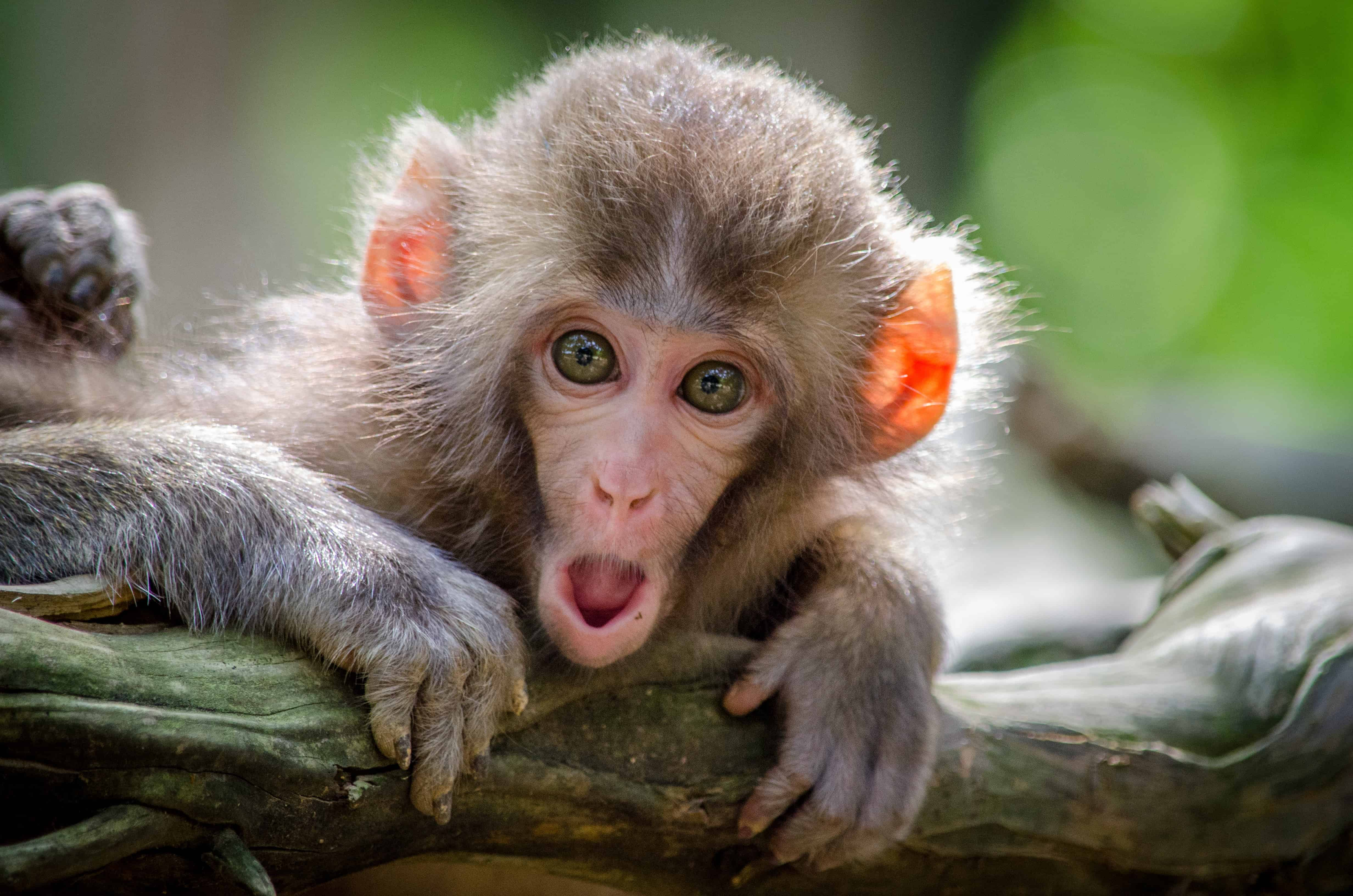 monkey with open mouth, monkey facts