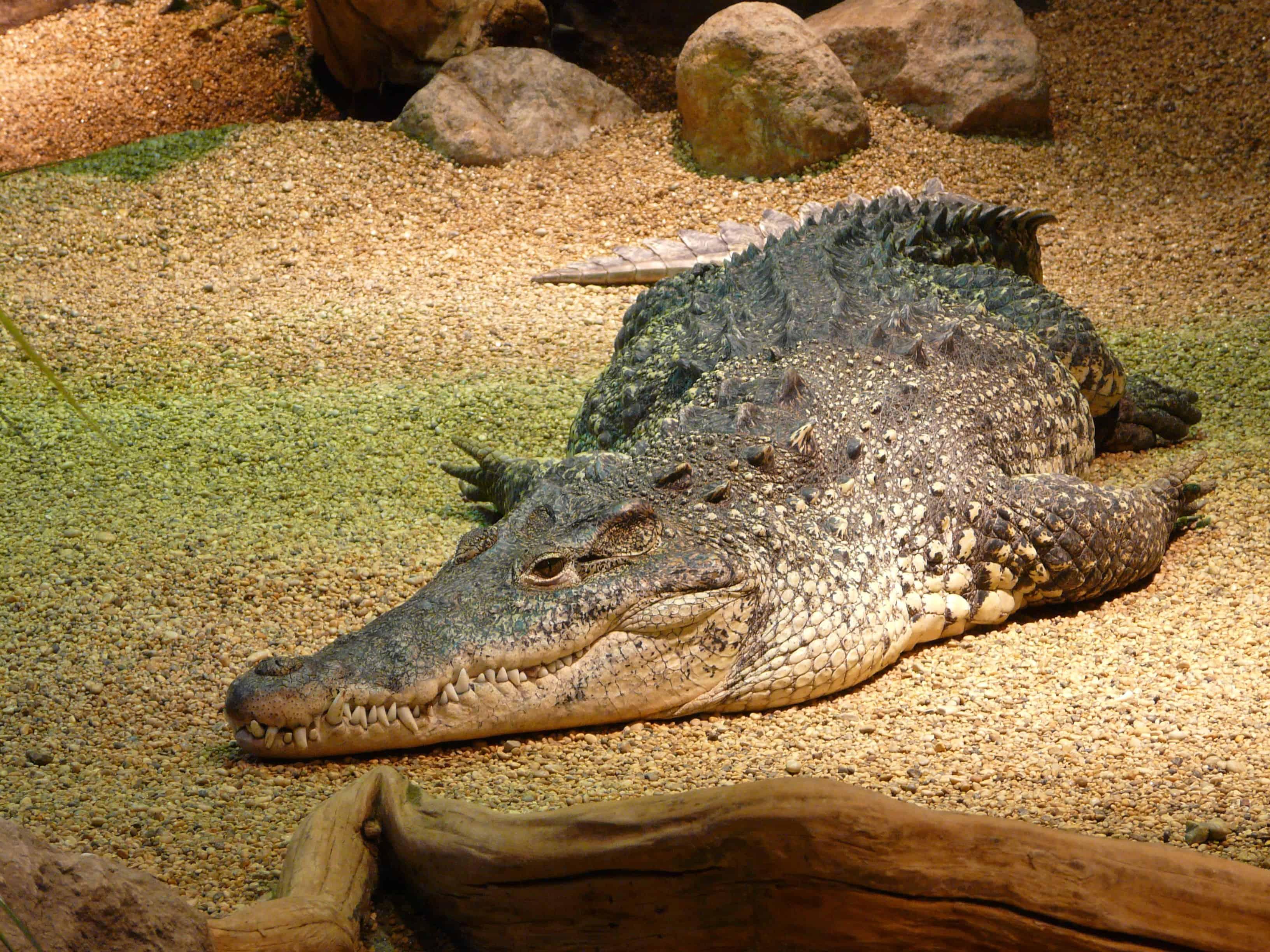 brown salt water crocodile