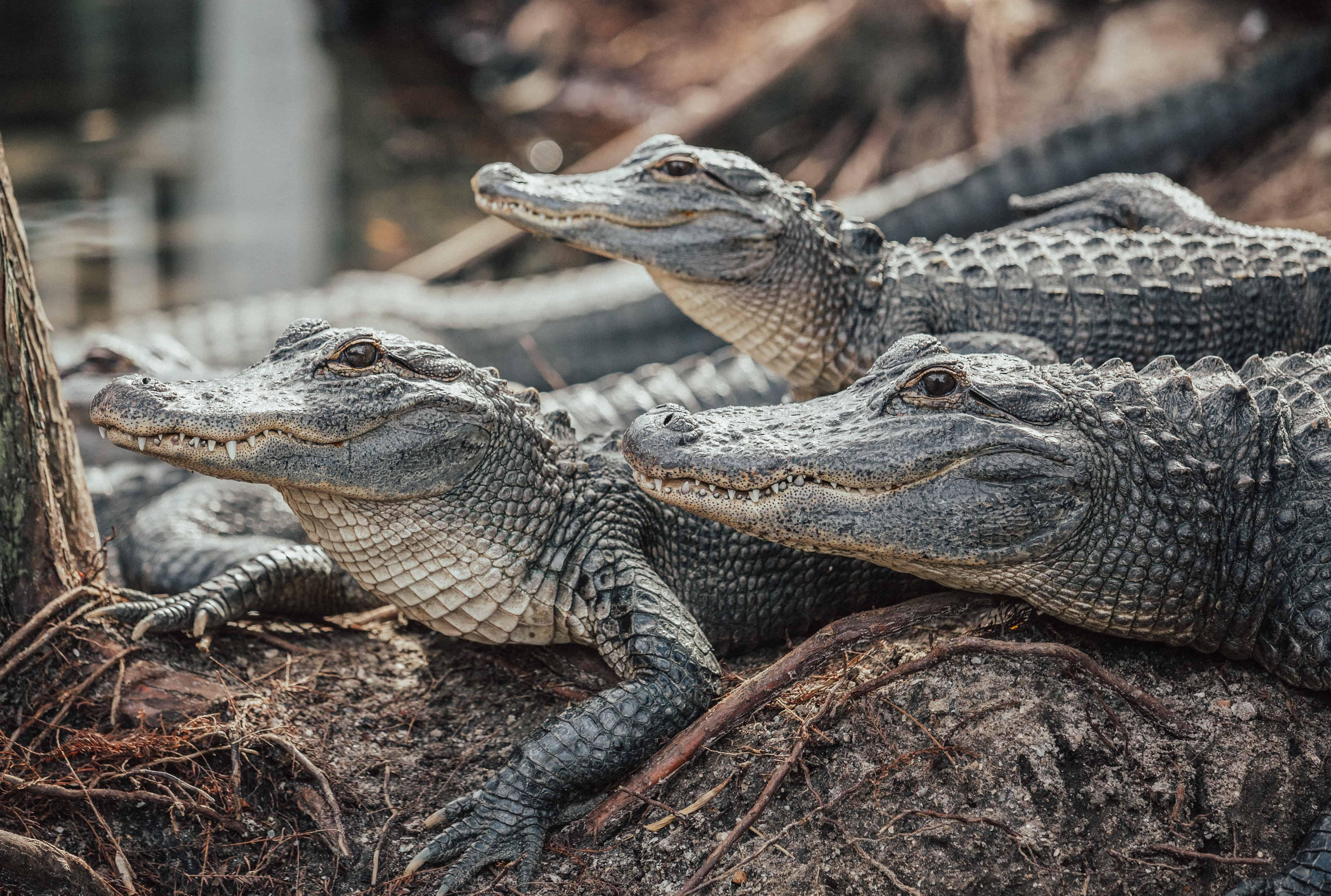 three crocodiles