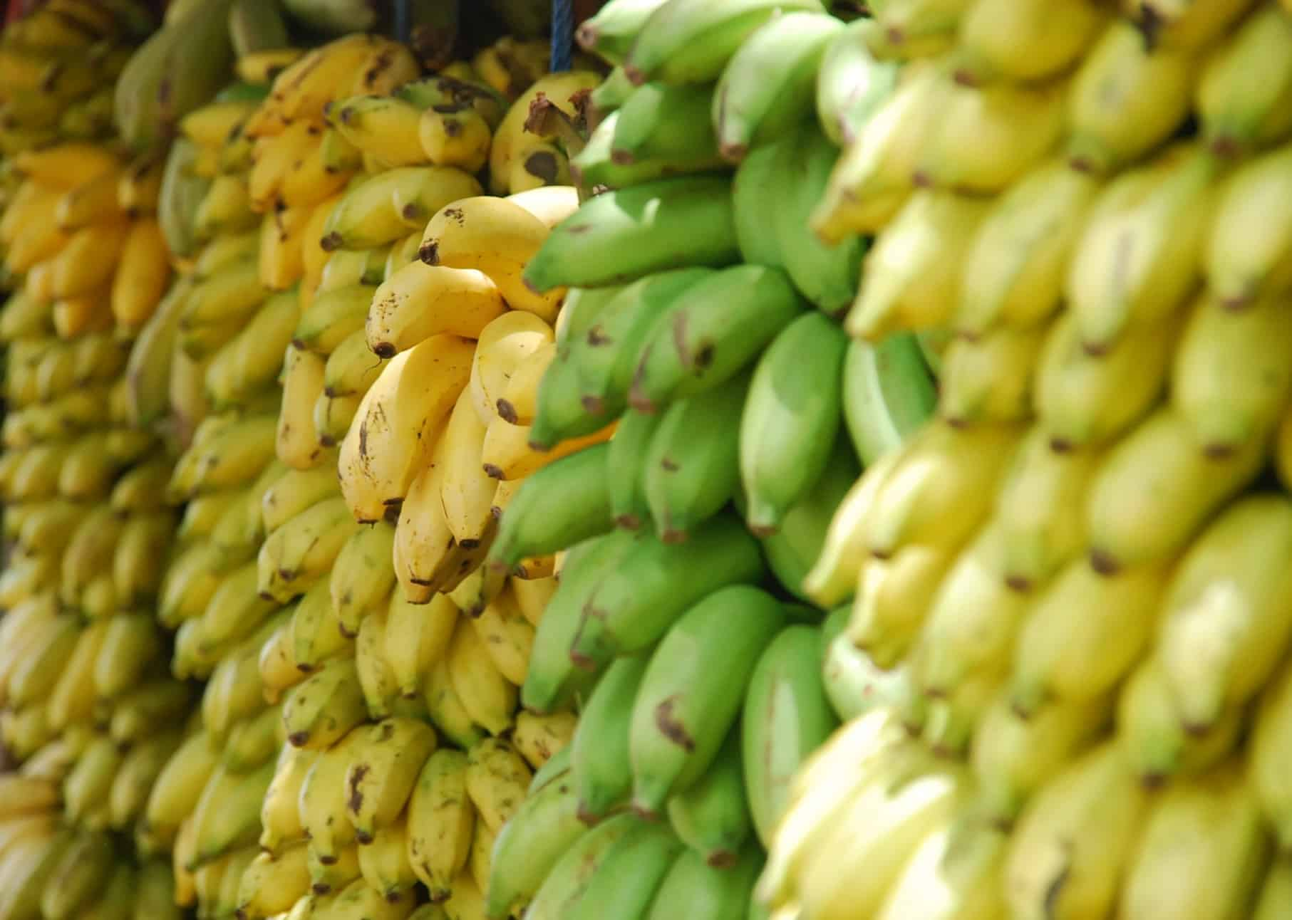 Banana, Unripe and ripe, Green bananas