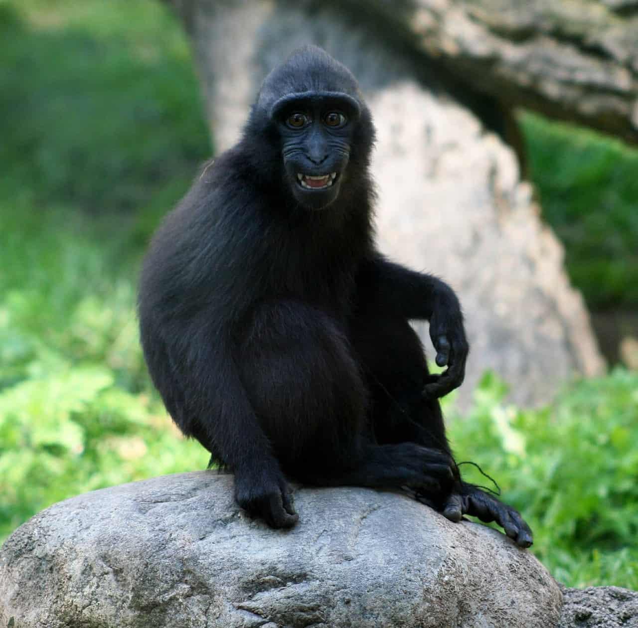 monkey, smile, monkey facts