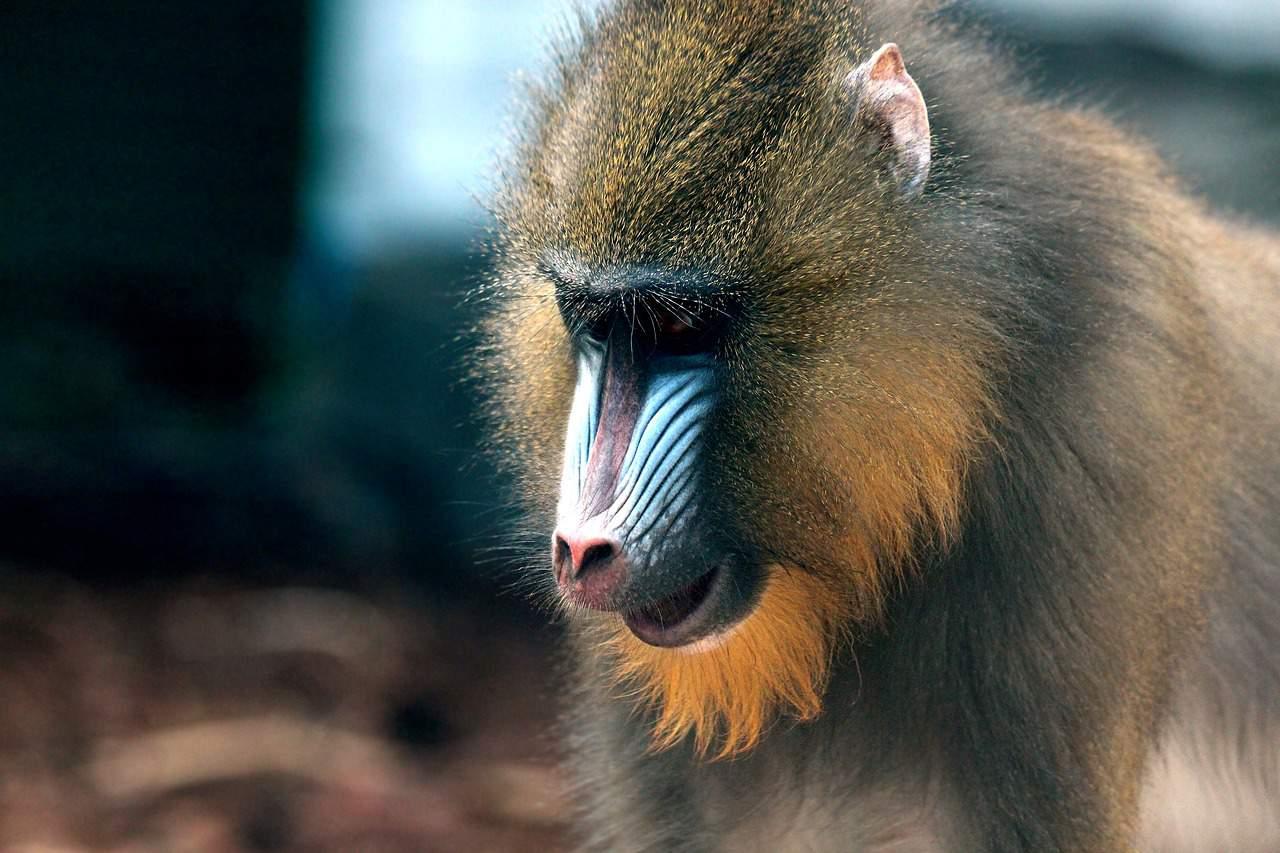 mandrill, monkey facts