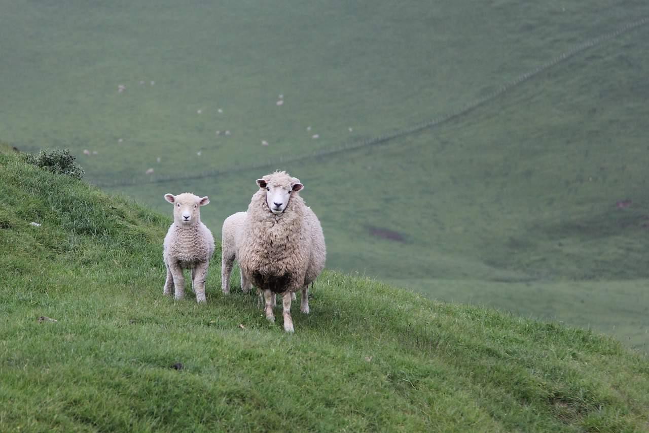 new zealand wool