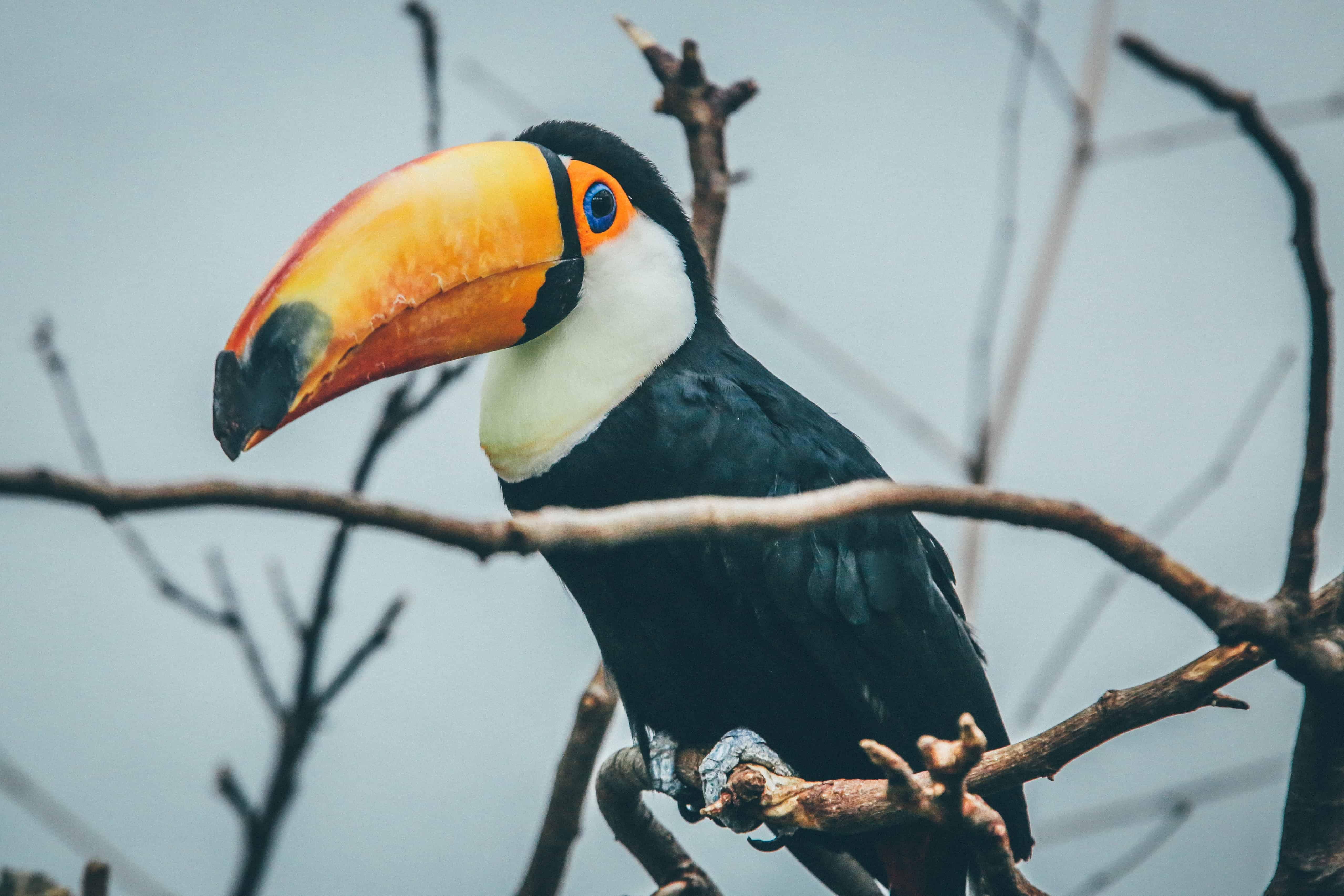 Toucan on a branch, Toucan facts
